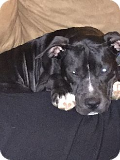 Pit Bull Terrier Mix Dog for adoption in Garwood, New Jersey - Pepper