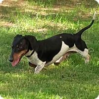 Adopt A Pet :: Bubba - Dallas, TX