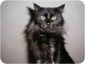 Domestic Mediumhair Cat for adoption in Proctor, Minnesota - Gladys