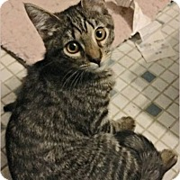 Maine Coon Kitten for adoption in Waldorf, Maryland - West