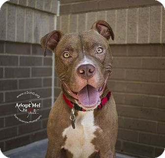 Pit Bull Terrier Mix Dog for adoption in Mooresville, North Carolina - Ren