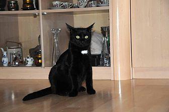 Domestic Mediumhair Kitten for adoption in Marlton, New Jersey - Bear
