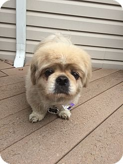 Pekingese Mix Dog for adoption in Fort Collins, Colorado - Chato (FORT COLLINS)