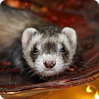 Ferret for adoption in Chantilly, Virginia - Ellie