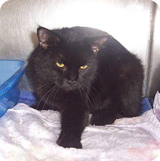 Domestic Shorthair Cat for adoption in Fall River, Massachusetts - Solange