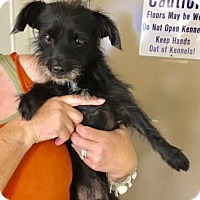 Havanese/Schnauzer (Miniature) Mix Dog for adoption in Oakland, Florida - Soto