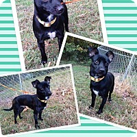 Rat Terrier/Chihuahua Mix Dog for adoption in Lexington, North Carolina - Rascal
