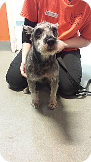 Schnauzer (Miniature) Dog for adoption in Westminster, California - Turtle