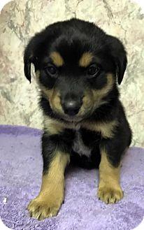 Labrador Retriever/Siberian Husky Mix Puppy for adoption in Danbury, Connecticut - Molly