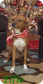 Feist/Terrier (Unknown Type, Small) Mix Dog for adoption in Bucyrus, Ohio - Elfie