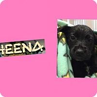 Adopt A Pet :: SHEENA - Plano, TX