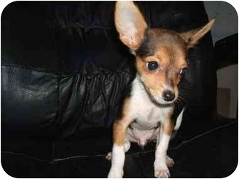 Chihuahua Puppy for adoption in SCOTTSDALE, Arizona - Rico(teacup)