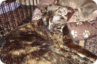 Domestic Shorthair Cat for adoption in Brooklyn, New York - Emma