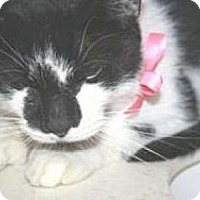 Domestic Shorthair Cat for adoption in Miami, Florida - Moo