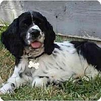 Adopt A Pet :: Sophia - Sugarland, TX