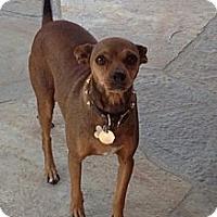 Adopt A Pet :: Godiva - Whittier, CA