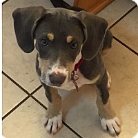Adopt A Pet :: Clementine - Richmond, VA