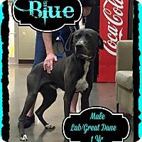 Adopt A Pet :: Blue - East Hartford, CT