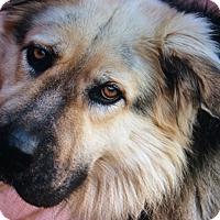 Adopt A Pet :: OSO VON OTTWEILER - Los Angeles, CA