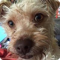 Adopt A Pet :: Yaya - Austin, TX