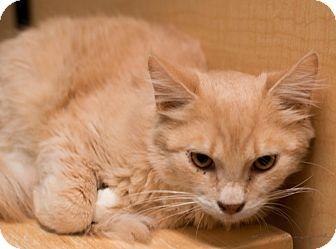 Domestic Mediumhair Cat for adoption in Modesto, California - Yoda