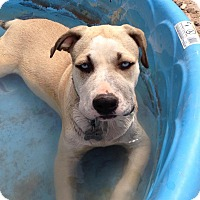 Boxer/Husky Mix Puppy for adoption in Alamogordo, New Mexico - Luna