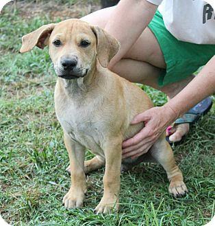 Labrador Retriever/Bulldog Mix Puppy for adoption in PORTLAND, Maine - Skipper