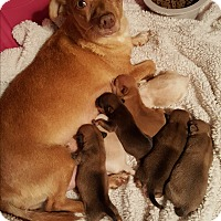 Adopt A Pet :: Maisey - Gilbert, AZ