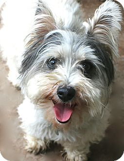 Terrier (Unknown Type, Small) Mix Dog for adoption in Norwalk, Connecticut - Billy