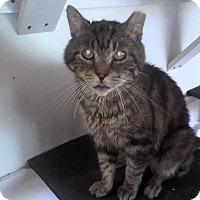 American Shorthair Cat for adoption in Medford, New York - Malcolm