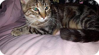 Domestic Shorthair Kitten for adoption in Overland Park, Kansas - Scarlet