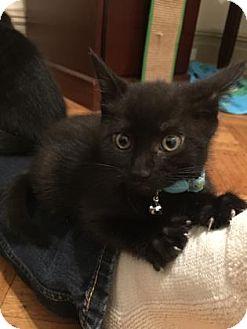 Domestic Shorthair Kitten for adoption in New York, New York - Jade