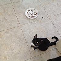 American Shorthair Kitten for adoption in Phoenix, Arizona - Annie