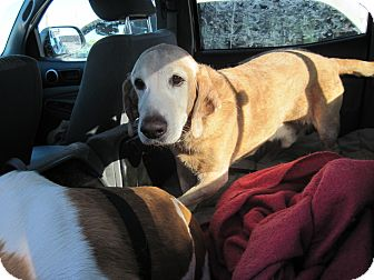 Basset Hound Dog for adoption in Littleton, Colorado - Charlie