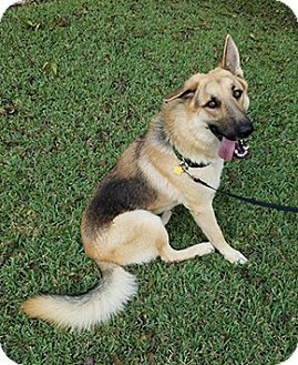 German Shepherd Dog Mix Dog for adoption in Manor, Texas - Dusty