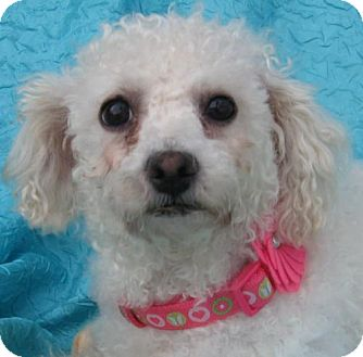Bichon Frise Dog for adoption in Cuba, New York - JuJu