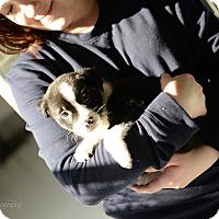 Adopt A Pet :: Lollie - Muldrow, OK