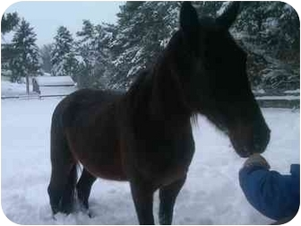 Standardbred Mix for adoption in Northford, Connecticut - Ginger