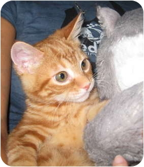Domestic Shorthair Kitten for adoption in Deerfield Beach, Florida - Red Fred