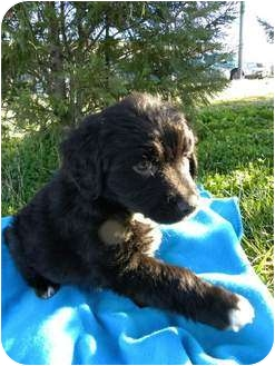 Labrador Retriever/Golden Retriever Mix Puppy for adoption in Hagerstown, Maryland - Thunder