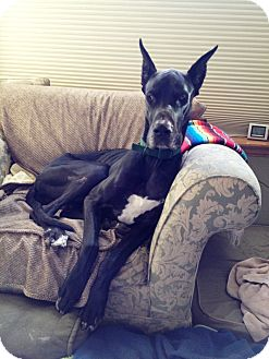 Great Dane Dog for adoption in Broomfield, Colorado - Tony