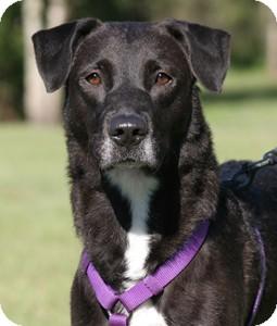 Labrador Retriever Mix Dog for adoption in North Fort Myers, Florida - Sasha
