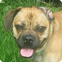 Pug/Beagle Mix Dog for adoption in Schaumburg, Illinois - Tia