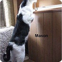 Adopt A Pet :: Mason - Portland, OR