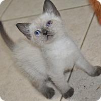 Adopt A Pet :: Simon (Siamese kitten) - New Smyrna Beach, FL