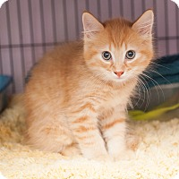 Adopt A Pet :: Surebert - Shelton, WA