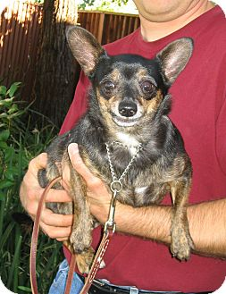 Chihuahua Mix Dog for adoption in Tracy, California - Travis