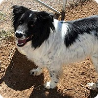 Border Collie Mix Dog for adoption in Corrales, New Mexico - Tony