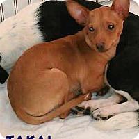 Adopt A Pet :: Takai - House Springs, MO