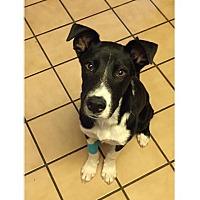 Adopt A Pet :: Zuma - Tempe, AZ